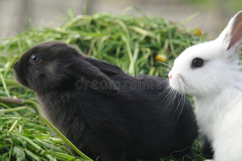 Conejos blancos y negros del bebé en hierba verde fotos de archivo libres de regalías