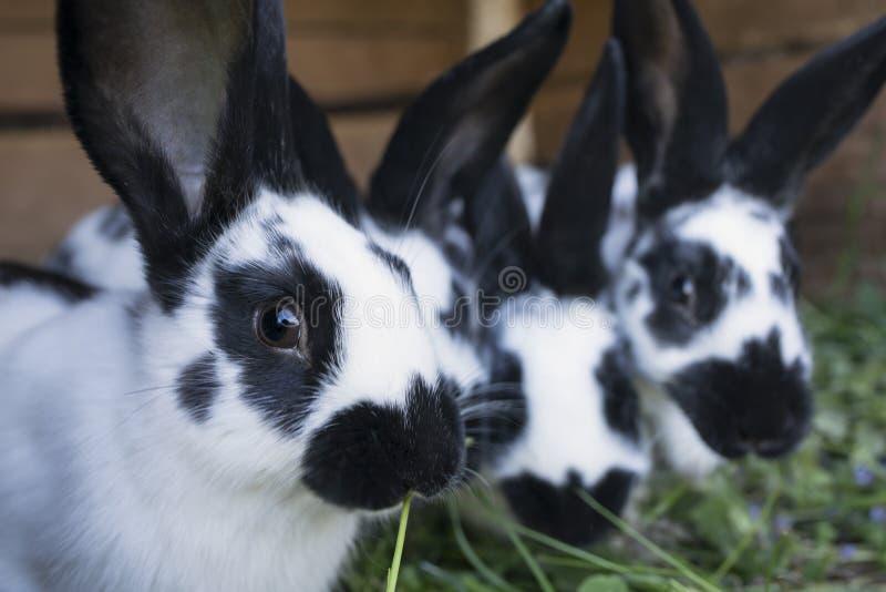 Conejos blancos y negros lindos del grupo con los puntos imagen de archivo libre de regalías