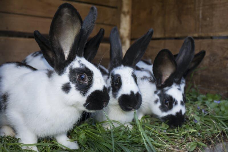 Conejos blancos y negros lindos del grupo con los puntos fotografía de archivo libre de regalías