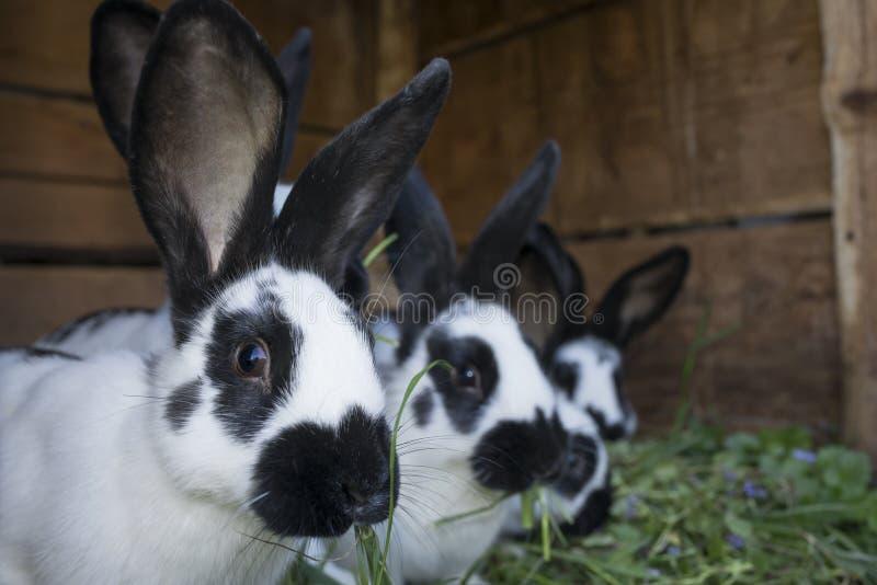 Conejos blancos y negros lindos del grupo con los puntos imagenes de archivo