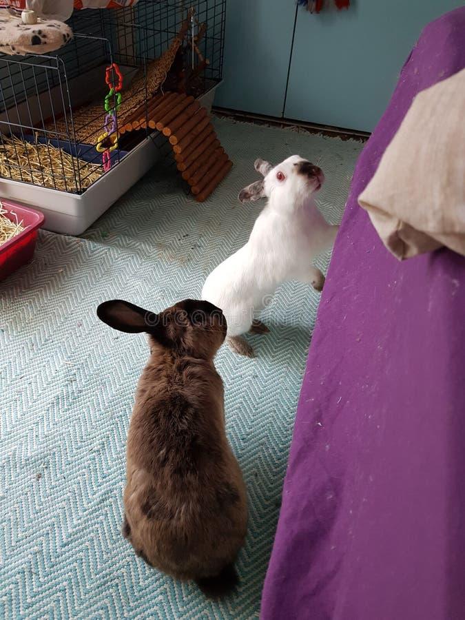 Conejos de conejito foto de archivo libre de regalías