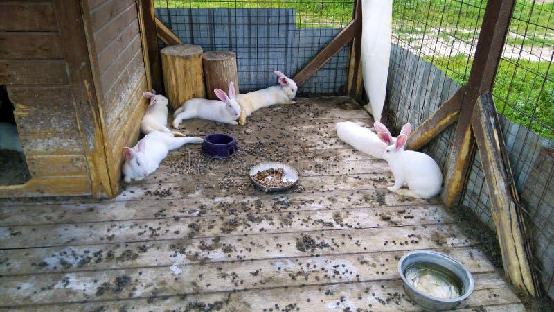 Conejos de la cría fotografía de archivo libre de regalías