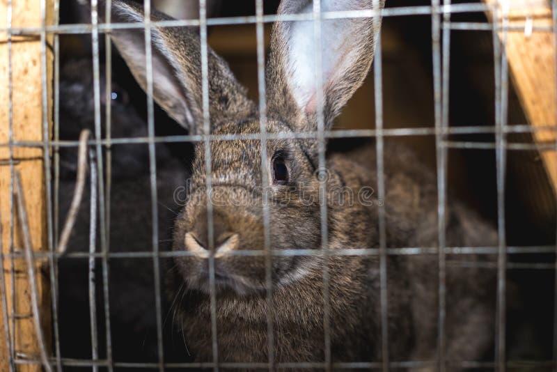 Conejos de la cría Conejos en una granja en una jaula de madera Conejos en cautiverio fotos de archivo