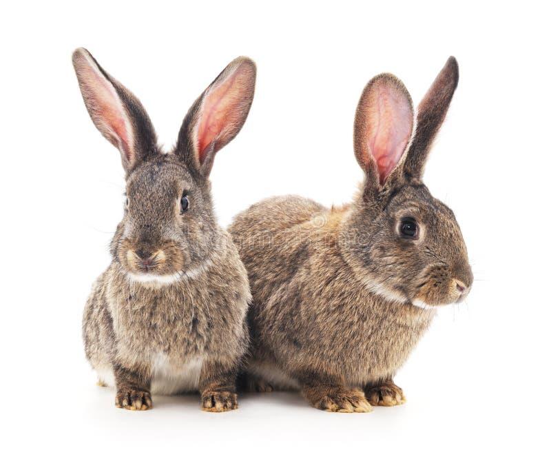 Conejos del bebé de Brown foto de archivo libre de regalías
