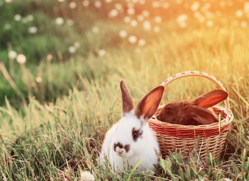 Conejos en la puesta del sol fotografía de archivo libre de regalías