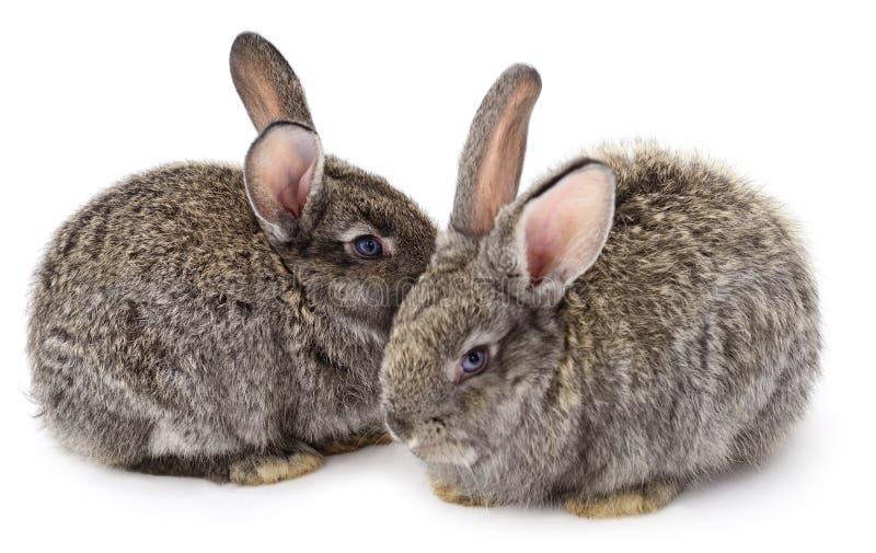 Conejos grises foto de archivo