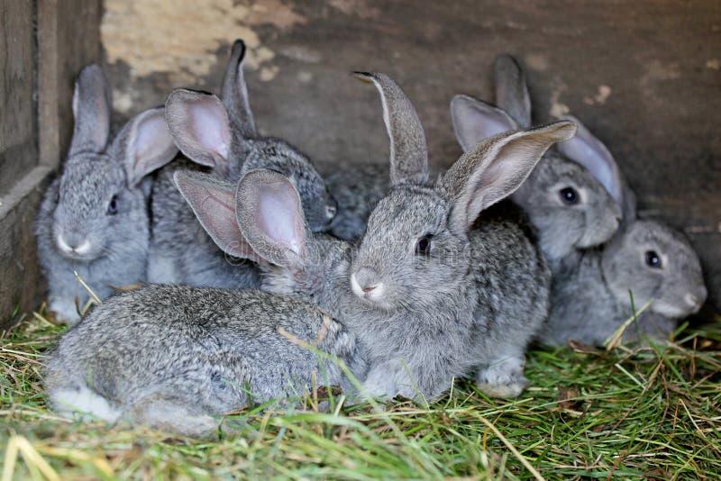 Conejos grises en granja fotos de archivo