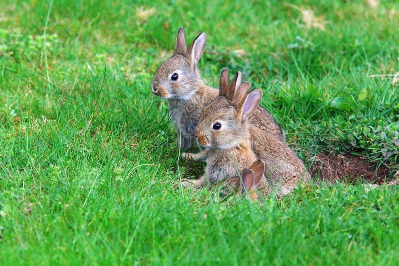 Conejos jovenes fotografía de archivo