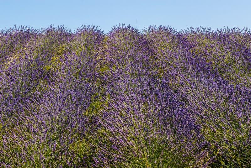 Download Conero (Ancona) - Field Of Lavender Royalty Free Stock Image - Image: 29089946