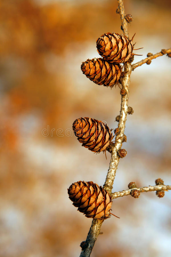 Download Cones stock photo. Image of poland, bush, natural, cone - 12362194