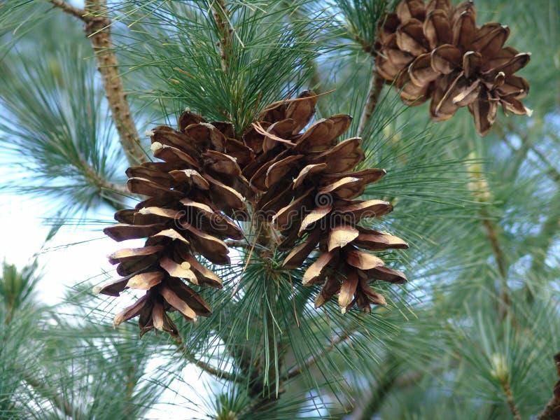 Cones Fotografia de Stock Royalty Free