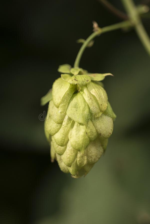 Cones of common hop Humulus lupulus. anxiety, insomnia and other sleep disorders, restlessness royalty free stock image