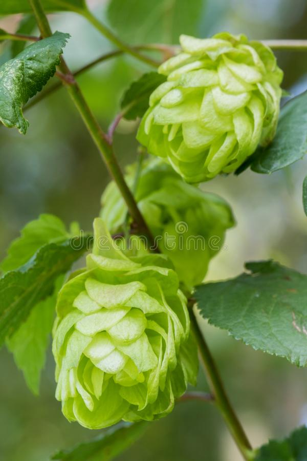 Cones of common hops - humulus lupulus royalty free stock images