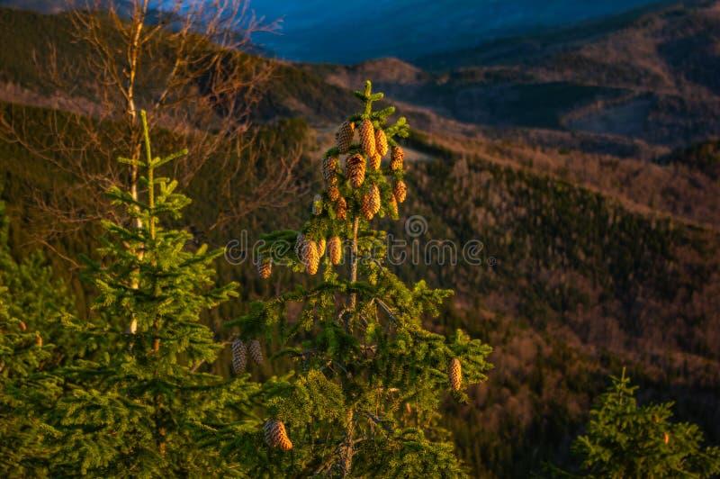 Cones da árvore de Natal nas montanhas fotografia de stock royalty free