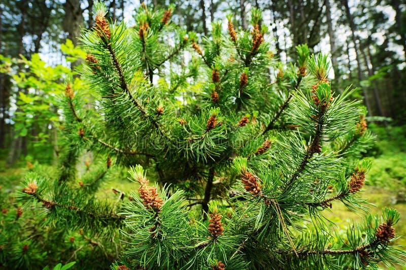 Cones das coníferas O pólen masculino novo da árvore dos sylvestris do pinus do pinho escocês ou escocês floresce foto de stock