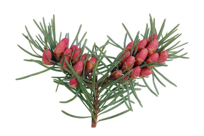 Cones de florescência vermelhos de abril do pinheiro em ramos com agulhas afiadas fotos de stock