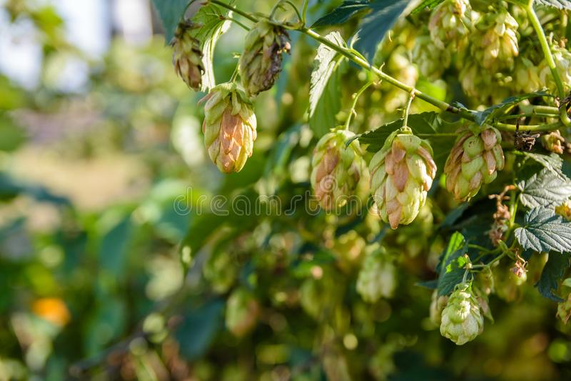 Cones do lúpulo comum Lupulus do Humulus foto de stock
