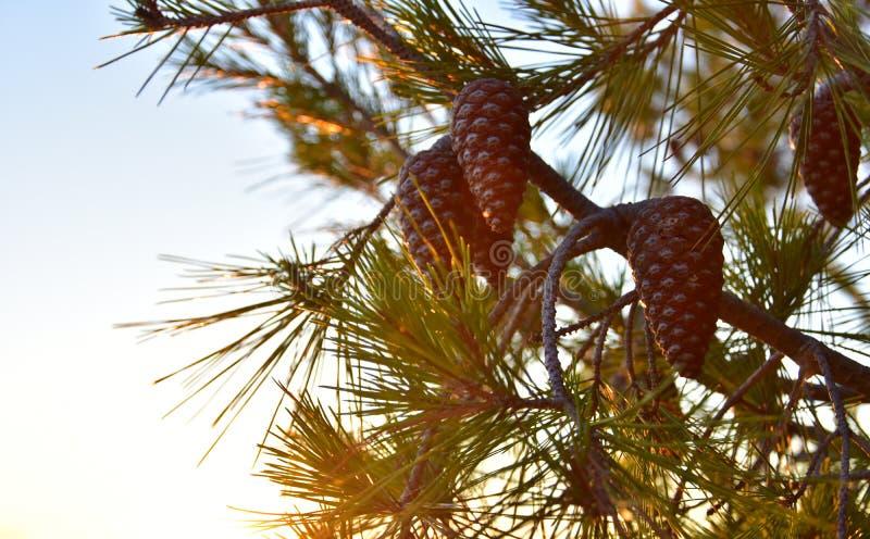 Cones do pinheiro do fundo do verão fotografia de stock