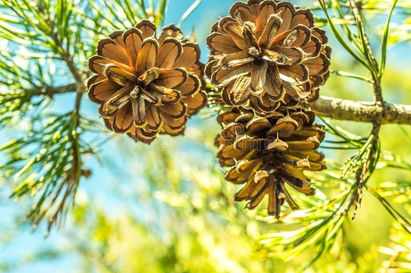 Cones do pinho na árvore em um ajuste bonito da região selvagem imagens de stock