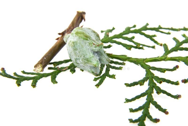 Cones e o ramo de uma árvore fotografia de stock