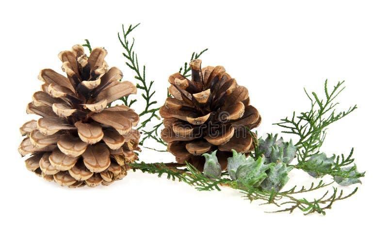 Cones e o ramo de uma árvore imagem de stock