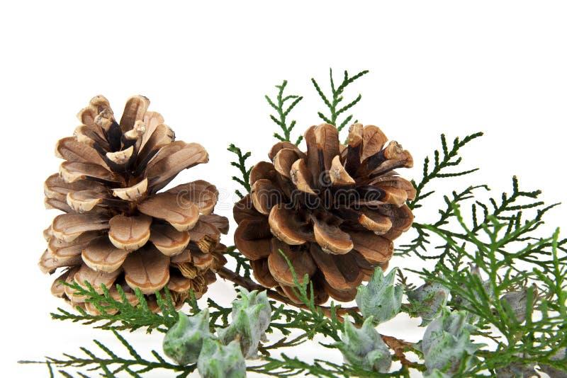 Cones e o ramo de uma árvore foto de stock royalty free