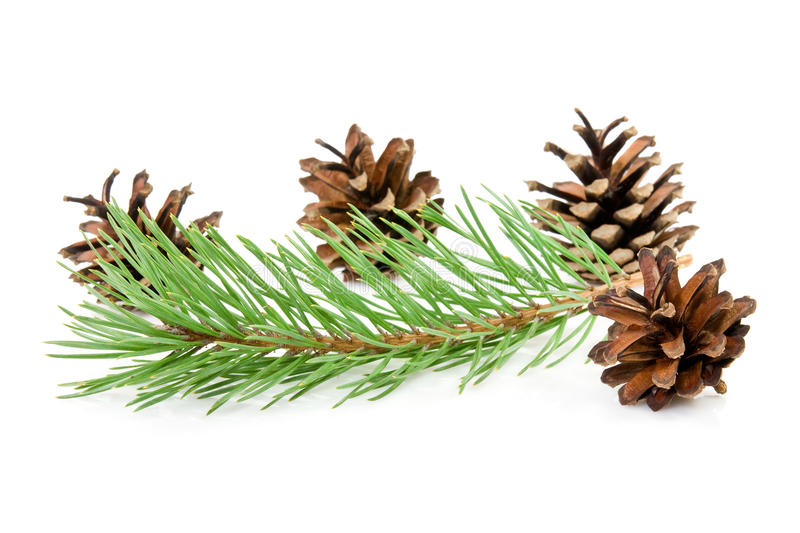 Cones and green pine branch royalty free stock image