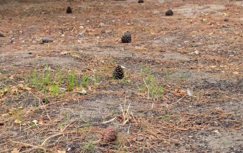 Cones on the ground. Beautiful background with pine. Fallen autumn cones stock photography