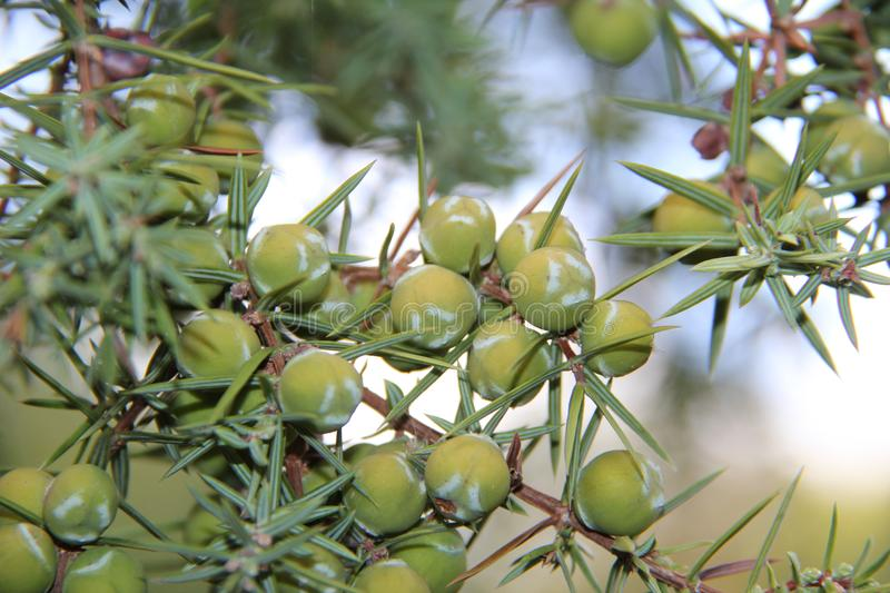 Cones of juniper in the forest royalty free stock photos