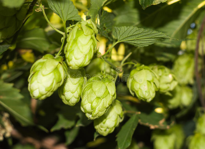 Cones And Leaves Of Hops Stock Image