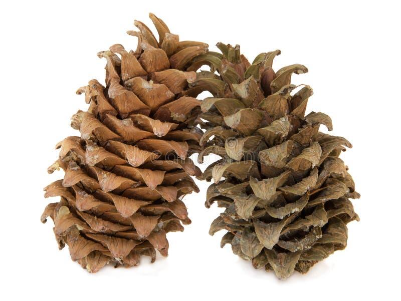 Cones of a Manchurian cedar (Korean pine). royalty free stock photography