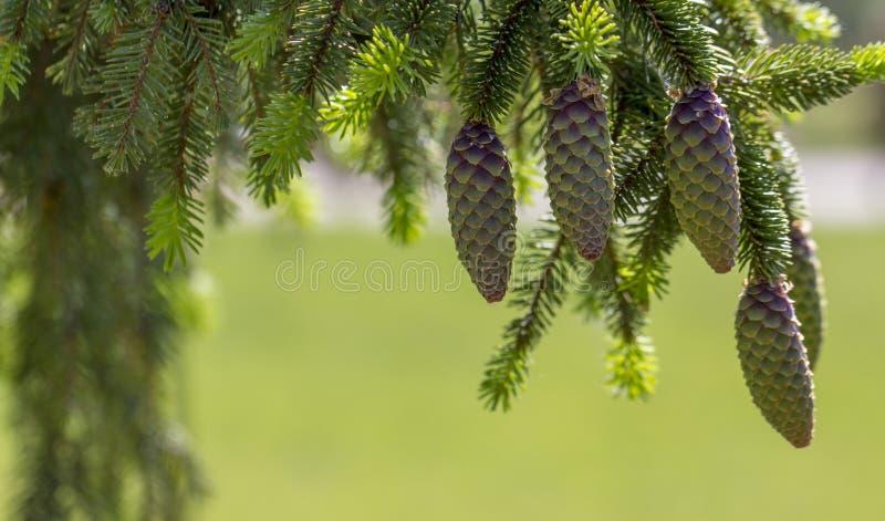 Cones na árvore de Natal fotografia de stock
