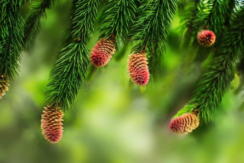 Cones novos do pinho nos ramos de um pinheiro Fundo borrado natural com a planta conífera na estação de mola fotos de stock royalty free
