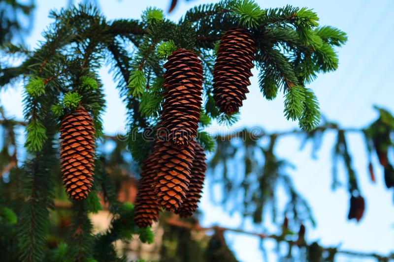 Spruce with cones. royalty free stock photography