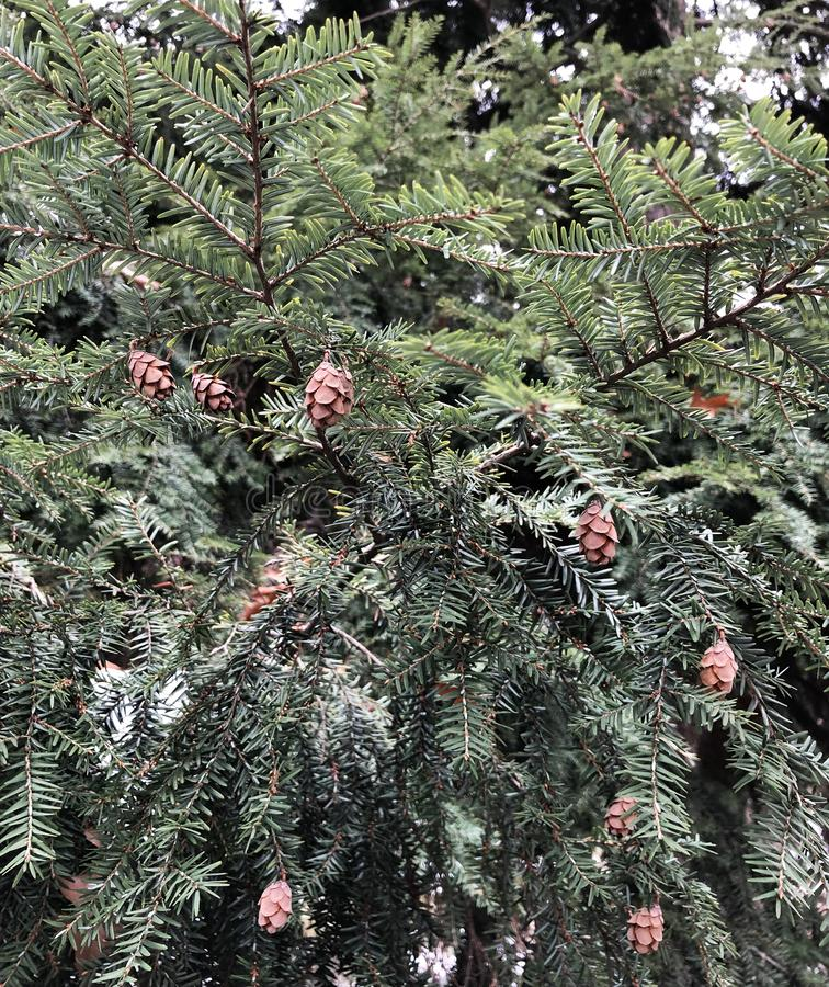 Fun cones on the tree. Cones on the tree, pine, branch, needles, spruce, conifer, nature, fir, evergreen, outdoors, season, twig, pinecone, isolated, cedar royalty free stock image