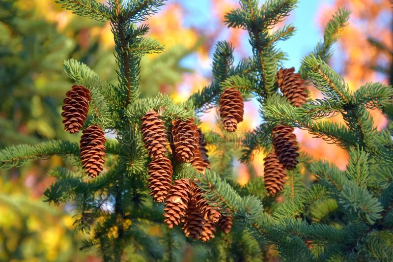 Cones on the tree royalty free stock photo