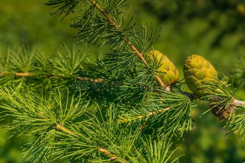 Cones verdes do larício imagem de stock royalty free