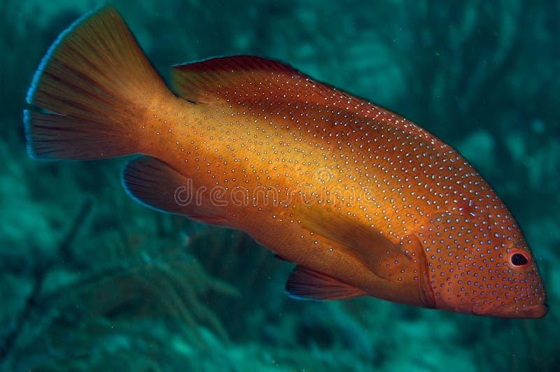 Coney cephalophis stock photos