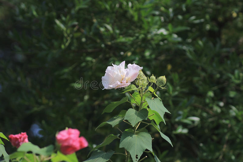 The confederate rose ; Hibiscus mutabilis royalty free stock photography