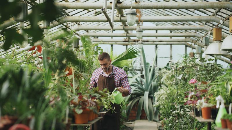 Confident male gardener watering plants at greenhouse with can. Attractive young man enjoy his job in garden royalty free stock image