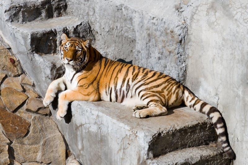 Configurations de tigre d'Amur aux opérations en pierre photographie stock libre de droits