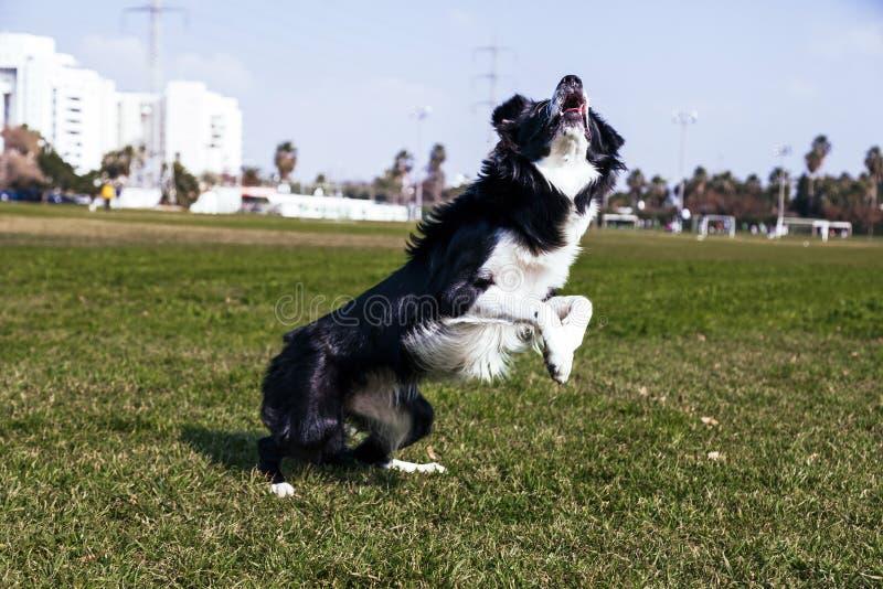 Confine Collie Dog Playing nel parco immagine stock libera da diritti
