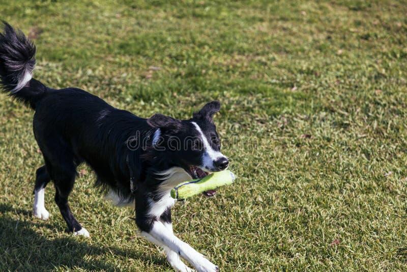 Confine Collie Dog Playing nel parco fotografia stock libera da diritti