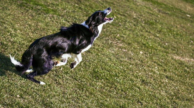 Confine Collie Dog Playing nel parco fotografie stock libere da diritti