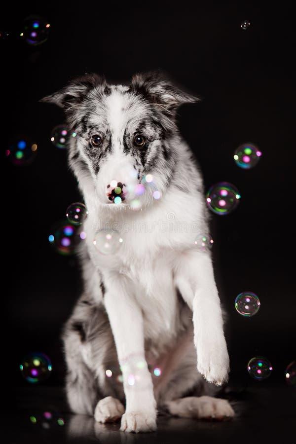 Confine Collie Dog in studio su un fondo nero scuro fotografie stock