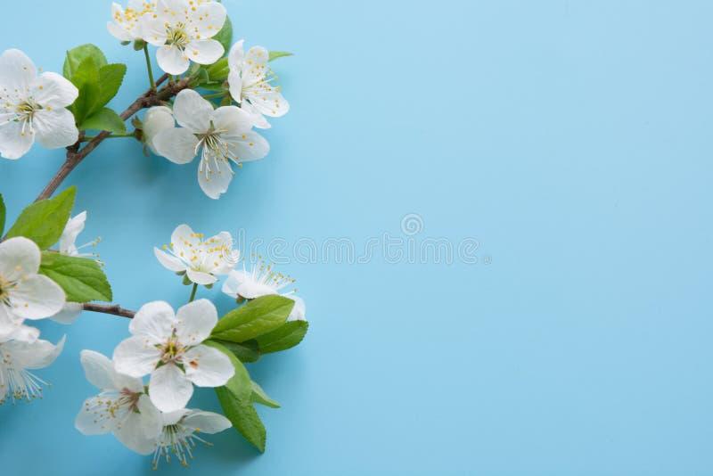 Confine dei rami bianchi del fiore della molla sul blu pastello Reticolo floreale Spazio per testo immagine stock libera da diritti