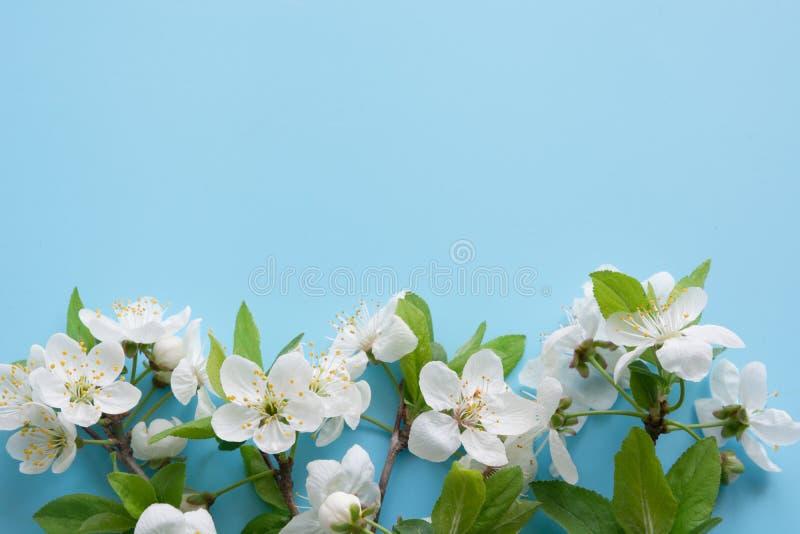 Confine dei rami bianchi del fiore della molla sul blu pastello Reticolo floreale Spazio per testo immagini stock libere da diritti