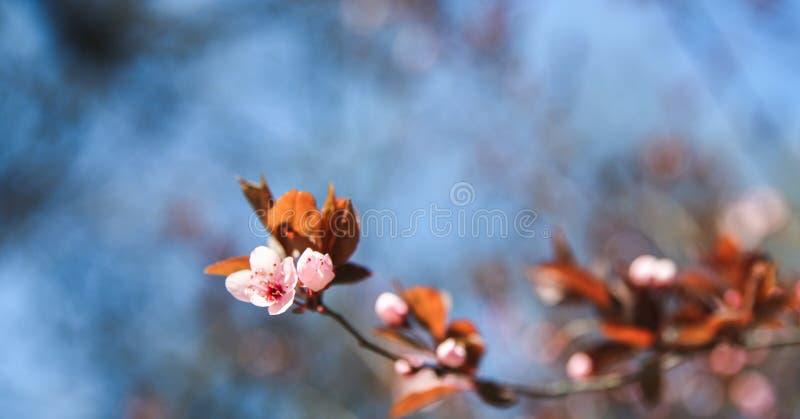 Confine del fiore della primavera con l'albero di fioritura rosa Bella scena della natura con i fiori sul chiarore del sole e del fotografia stock