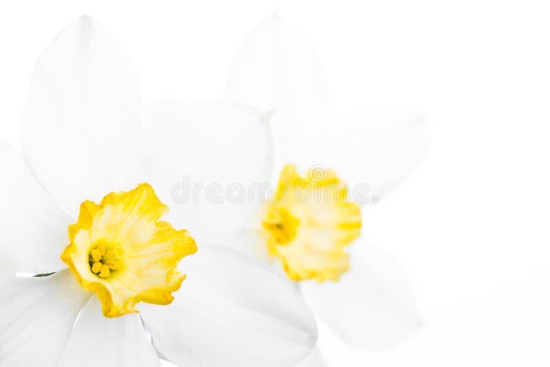 Download Confine Floreale Della Primavera, Bello Narciso Fresco Immagine Stock - Immagine di naughty, stagionale: 55365603