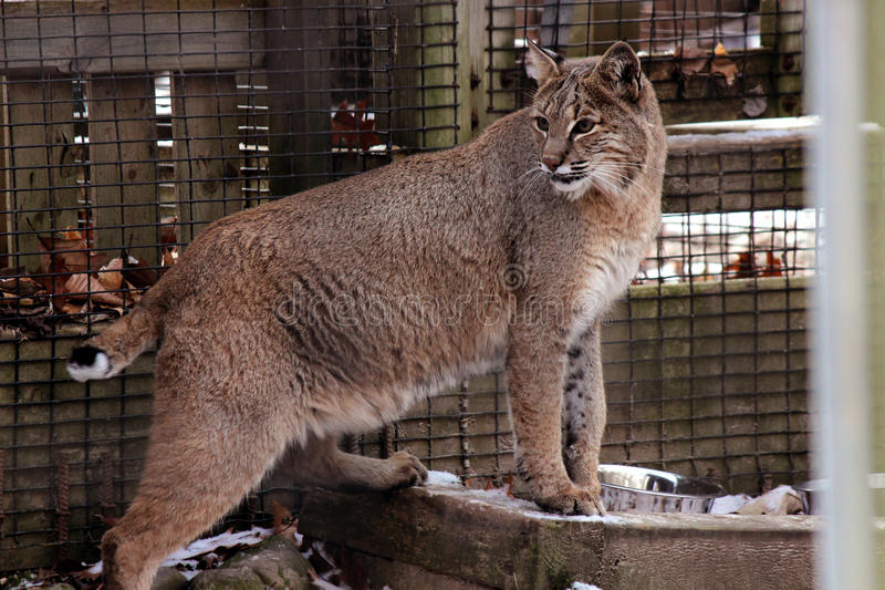 Download Confined Bobcat stock photo. Image of mammal, face, wild - 35926754
